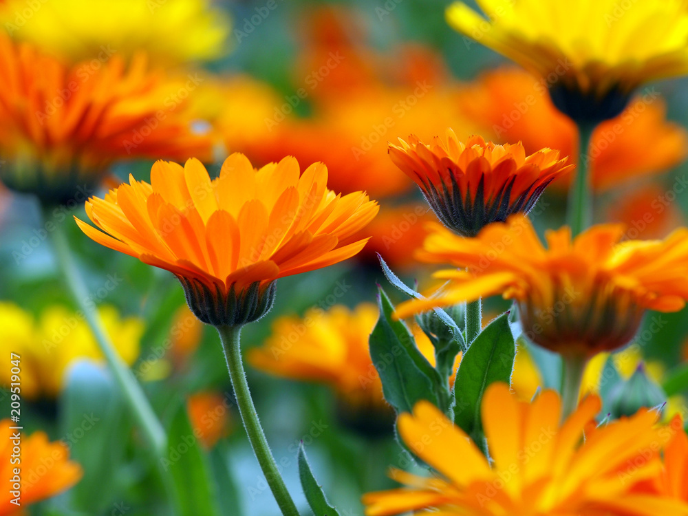 Fototapety, obrazy: Viele Ringelblumen