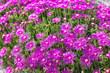 canvas print picture - Pinkfarbenes Blumenmeer
