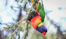A Rainbow Lorikeet (Trichoglossus Moluccanus) Hangs Upside Down In A Tree At The Darebin Parklands, Victoria, Australia.