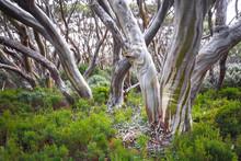 Snow Gum Trees(Eucalyptus Pauc...