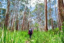 A Hiker Walks Among Large Eucalyptus Trees In The Yarra Ranges National Park, Victoria, Australia.