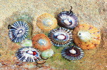 Colorful Limpets In A Tidepool...