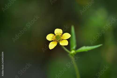 A beautiful little yellow flower (meadow, tall buttercup) in the forest (summer, spring) on a dark background Canvas Print