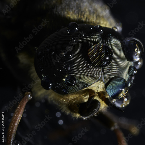 In de dag Macrofotografie Male Horsefly in the rain macro