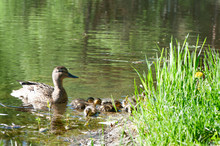 Duck With Small Ducklings In The Pond On A Sunny Summer Day
