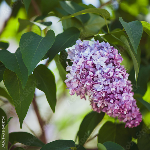 Keuken foto achterwand Lilac lilac on green, natural background, postcard