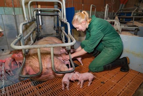 Schweinezucht - junge Landwirtin leistet Geburtshilfe bei einer Sau im Abferkelstall