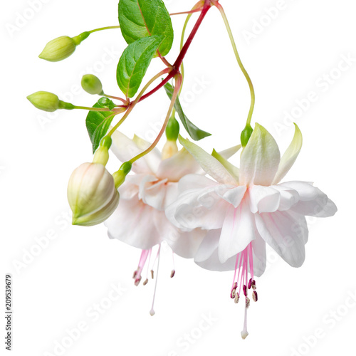 Canvas Print blooming hanging twig of white fuchsia is isolated on background, Frank Unswort,
