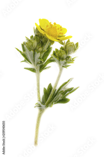 Creeping cinquefoil Potentilla yellow flower isolated on white background Fototapeta