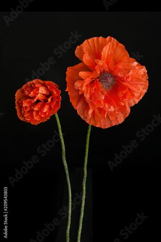 Red Poppy Flower On Black Background Kaufen Sie Dieses Foto Und