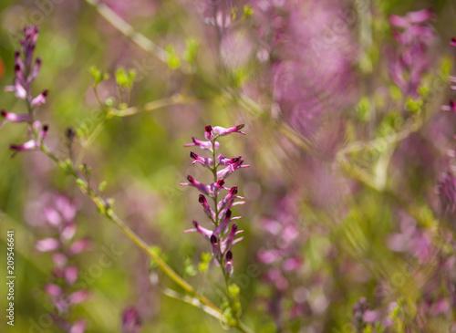 Aluminium Prints Butterfly Flora of Gran Canaria - Fumaria flowers