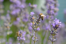 The Bee Pollinates The Lavender Flowers. Plant Decay With Insects.