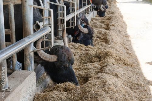 La pose en embrasure Bison The buffalos in a farm in Italy that produces mozarella