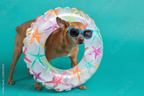 Poster Chien a brown dog in full growth with an inflatable circle around his neck and with blue glasses on his face, on a turquoise background, the concept of summer and rest