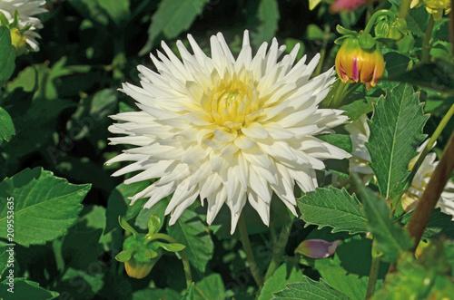 Dahlia cactus white  flower