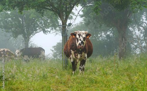 Animal ferme vache 224 Fotobehang