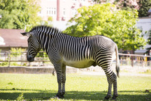 Zebra, Animal, Striped, Hoof, Africa, Black, White, Horse, Beautiful. Nature