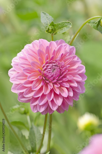 In de dag Dahlia Pink dahlia flower