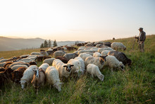 A Herd Of Sheep On A Hill In T...
