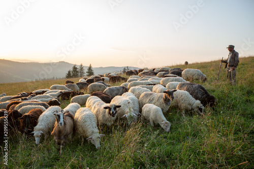 A herd of sheep on a hill in the rays of sunset.