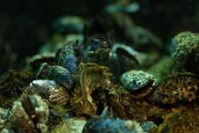 Close Up Mussel Background Underwater In The Aquarium