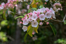Mountain Laurel Flowers In Bloom