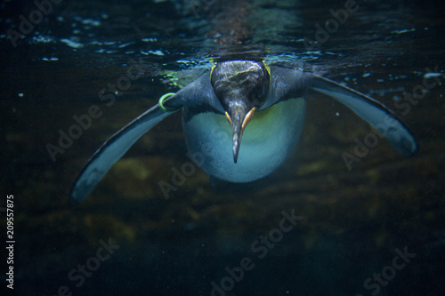 Photo King penguin (Aptenodytes patagonicus).