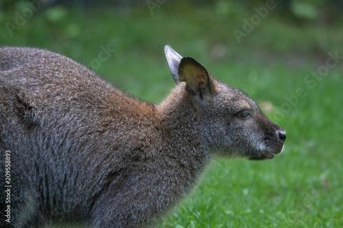 Leinwand Poster bennett känguru