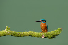 Common Kingfisher (alcedo Atthis) Perched On Moss Covered Branch