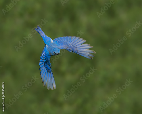 Bluebird Bonanza – A male mountain bluebird flies in search for worms, grasshoppers and other tasty treats for the chicks in its nest Tapéta, Fotótapéta
