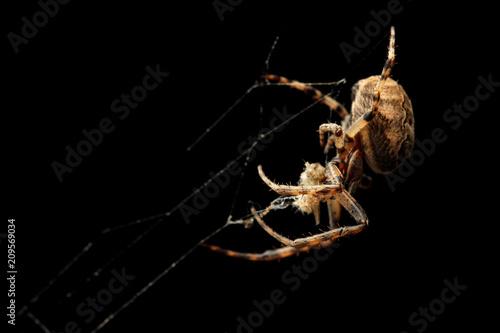 Araignée sur fond noir Fototapete