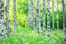 Summer Birch Forest View From Sotkamo, Finland.