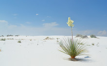 Flowering Yucca Plant On Brill...