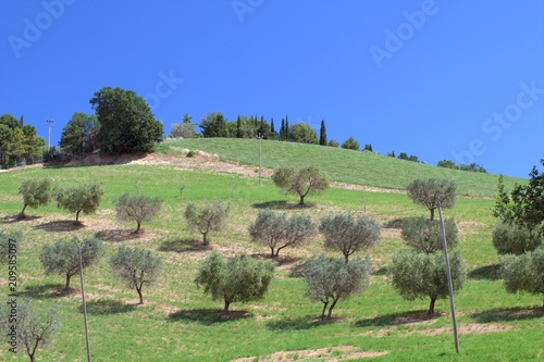 hill,field,olive tree,olivegrove,agriculture,sky,blue,view,countryside,landscape