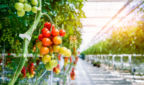 Beautiful red ripe tomatoes grown in a greenhouse. Tableau sur Toile