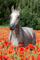 Panel Szklany Maki Portrait of nice arabian horse in red poppy field