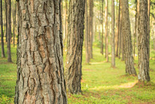 Pine Trees In The Forest. Bark And The Tall Corners Of Tall Pines See The Sky.