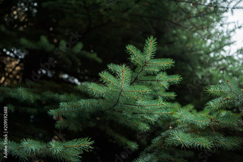 Photo  Coniferous Trees, evergreens, keep their foliage year-round.