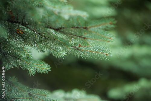 Fototapeta  Coniferous Trees, evergreens, keep their foliage year-round.
