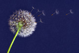 Fototapeta Puff-ball - dandelion flower, white fluffy on a blue background, fly off the seeds