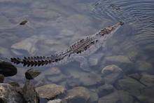 Crocodile In A Pacific Ocean Marina In Marina Vallarta, Puerto Vallarta, Mexico.
