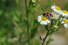 Beautiful Red Beetle On Flower