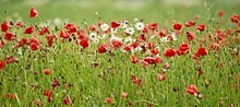 Wide Angle Landscape Of Bright Fresh Colorful Summer Meadow Flowers, Red Poppy Flower, White And Yellow Daisy, Green Grass