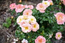 Dwarf Roses. Beautiful Pink Miniature Rose Or Fairy Rose