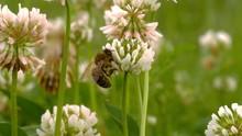 Macro Shot Of Honey Bee Crawli...