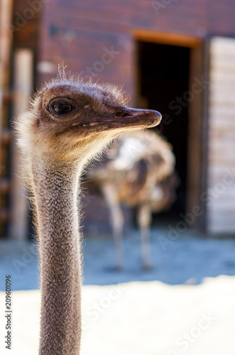 In de dag Struisvogel Big black ostrich in the zoo, wild bird with long neck.