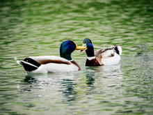 Couple Of Male Mallard Ducks O...