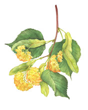 The Branch With Yellow Flowers Large-leaf Linden (Tilia, Lime Trees, Basswood) -medicinal Plant. Watercolor Hand Drawn Painting Illustration Isolated On A White Background.
