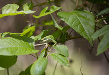 Green Anole On A Tree Branch