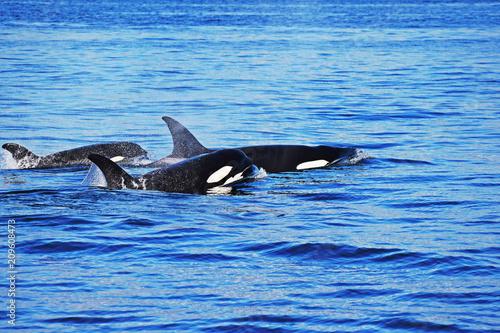 Fototapeta Orca Whales Puget Sound